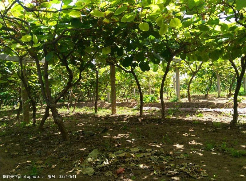 獼猴桃田園風景