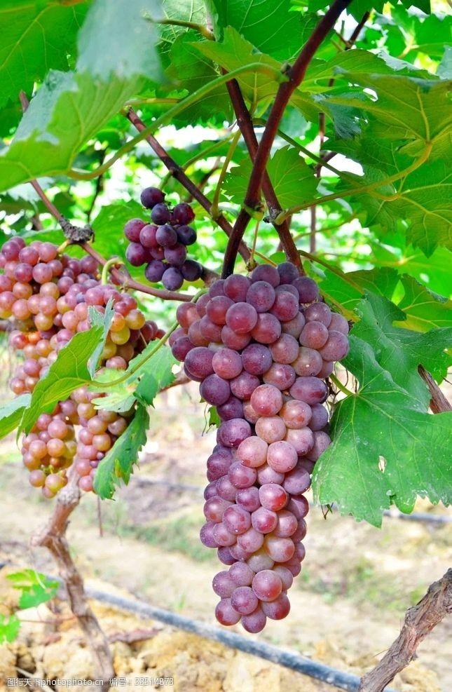 72dpi葡萄