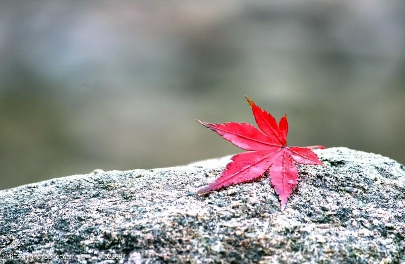 飘落的红叶枫叶