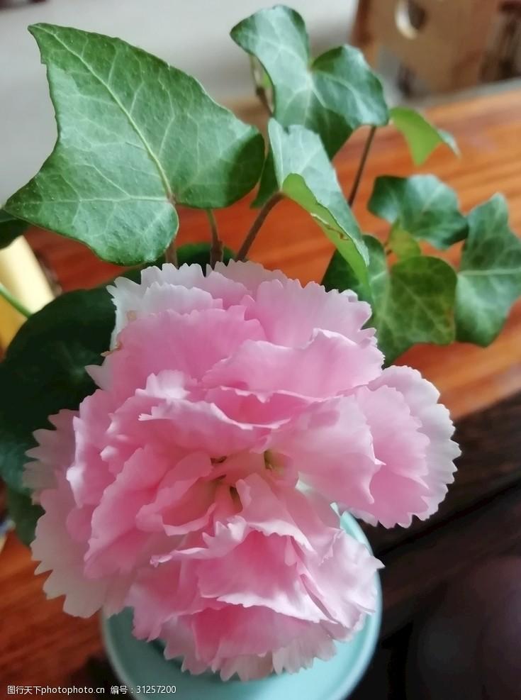 常青藤1鲜花