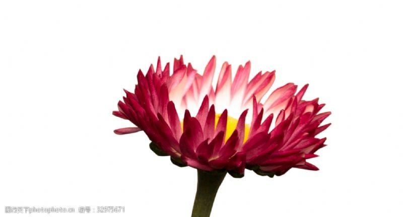 宝莲灯形状美丽的鲜花
