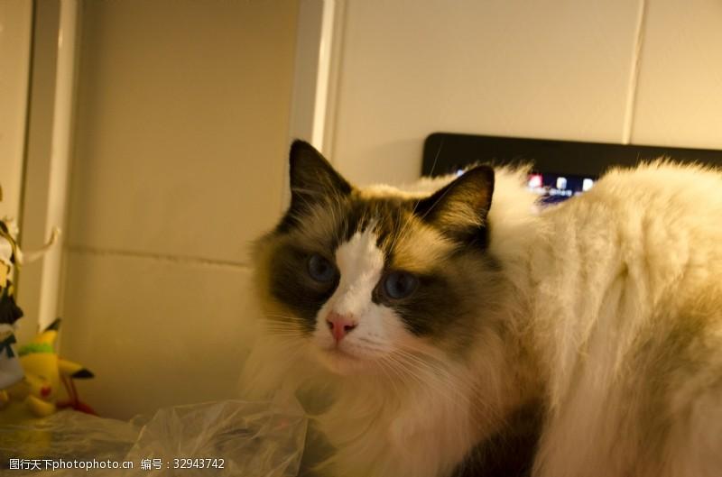 蓝眼睛胖嘟嘟可爱布偶猫咪暖色调