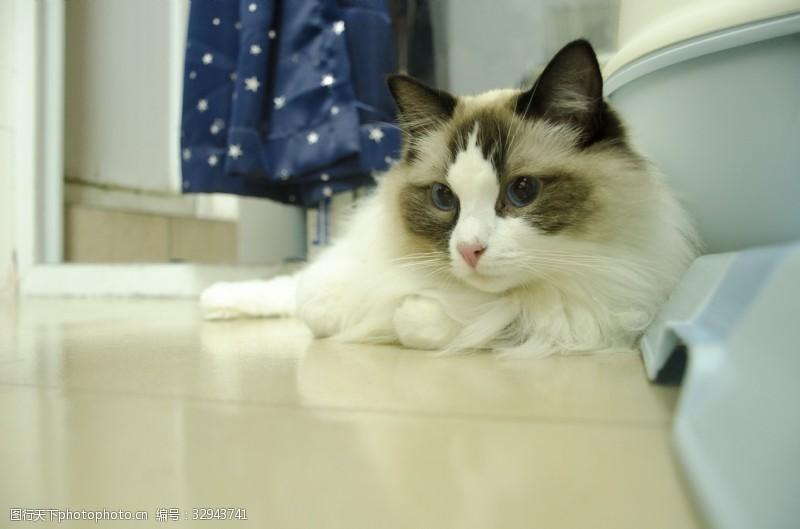 蓝眼睛趴在地上向前看的布偶猫咪特写
