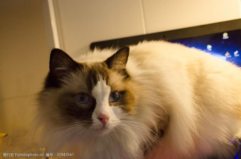 蓝眼睛水灵灵蓝色眼睛布偶猫特写