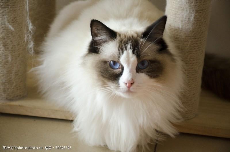 蓝眼睛正抬头看你的布偶猫咪俯瞰特写