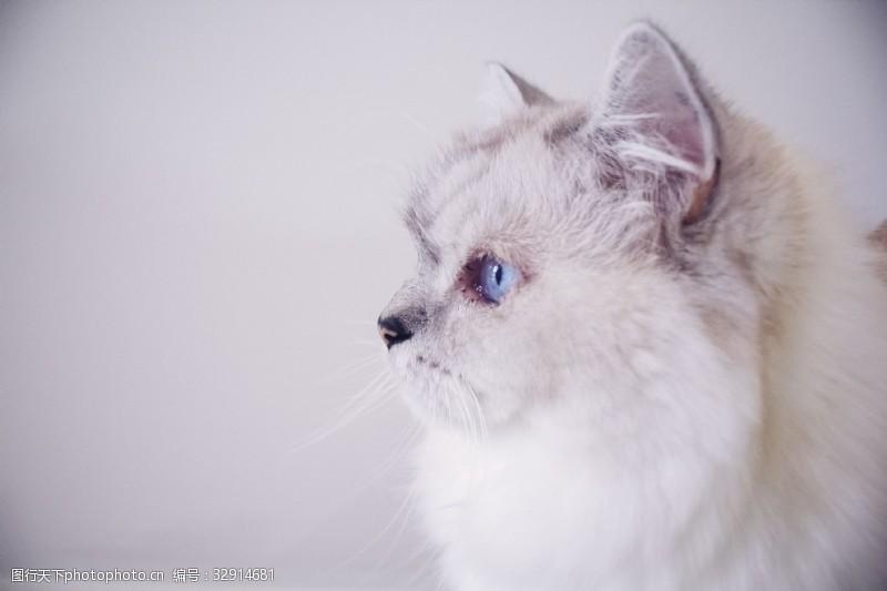 蓝眼睛布偶猫的侧脸特写