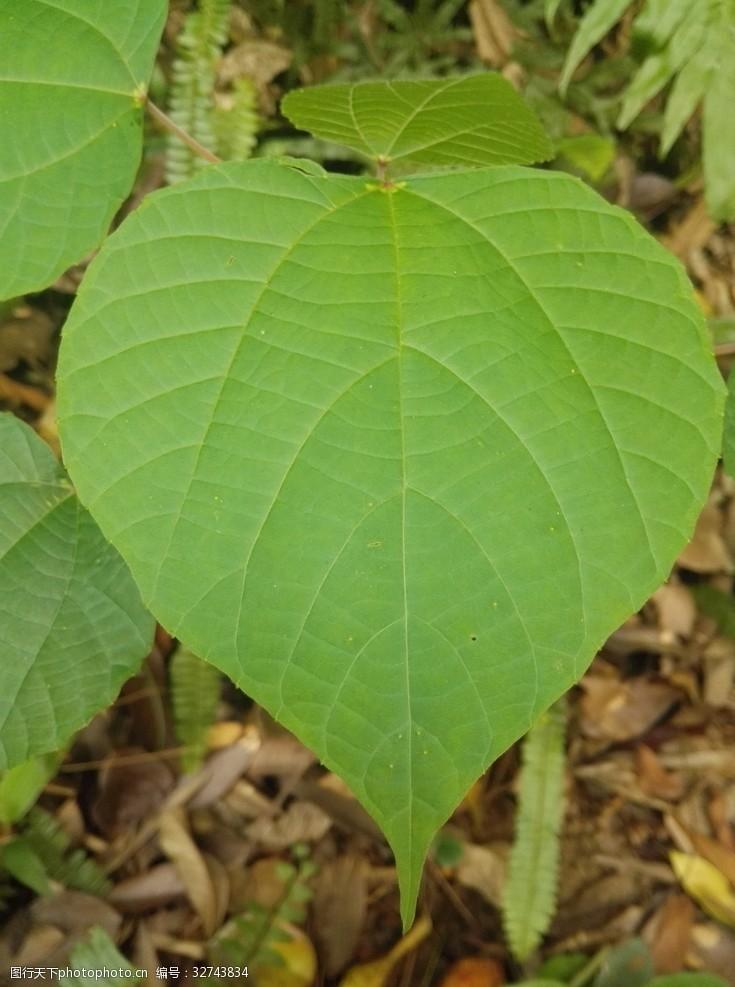 心形树叶绿叶