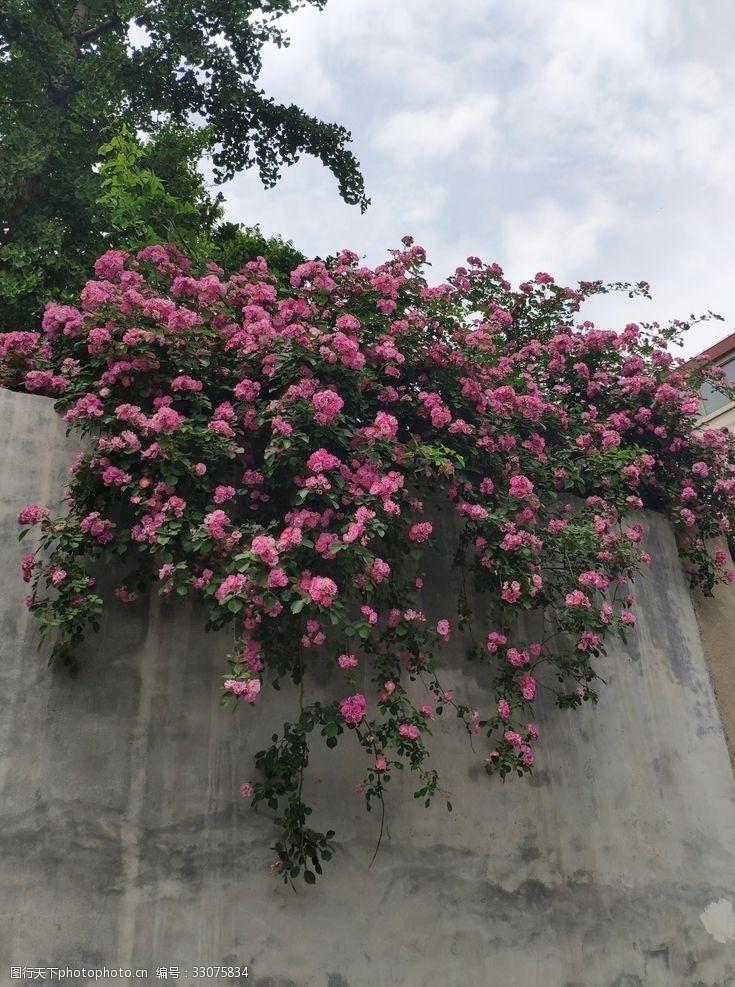 浪漫满屋蔷薇花