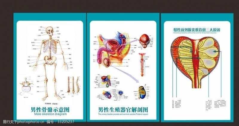 人体器官图男科室挂图